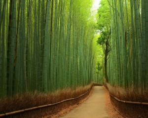Bamboo Forrest in Japan