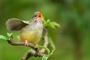 Bird singing-bird